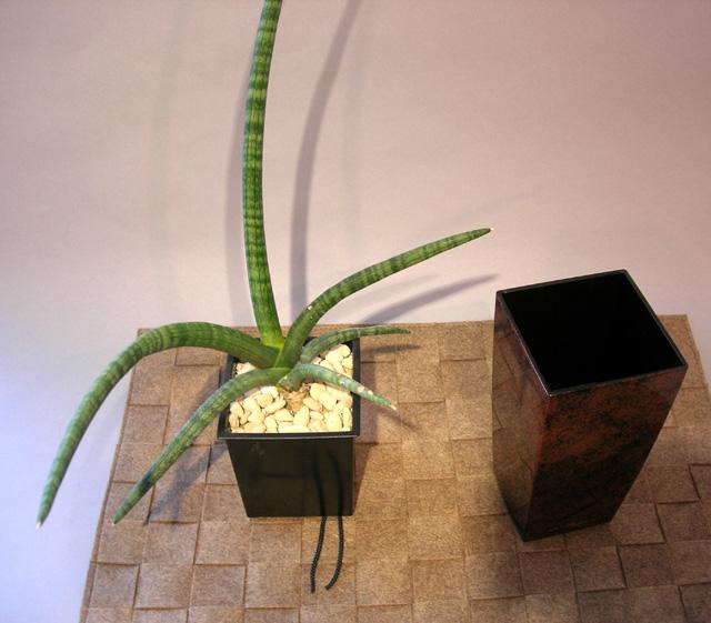 観葉植物Sansevieria stucki Godefrブラウン