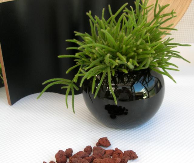 多肉植物・リプサス ブラックボール