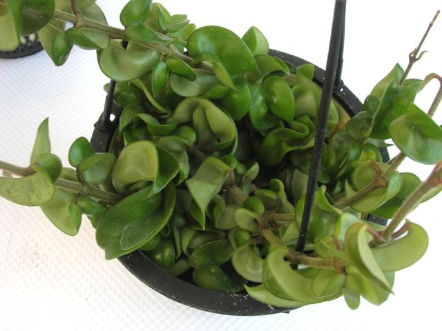 観葉植物ホヤ・コンバクター