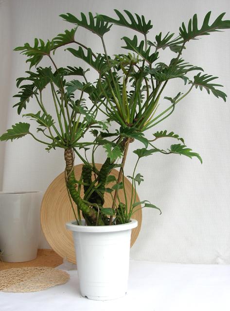 観葉植物・幹上がり美品のクッカバラ スタイリッシュ