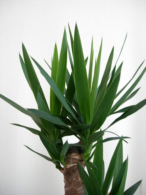観葉植物 ユッカ青年の木