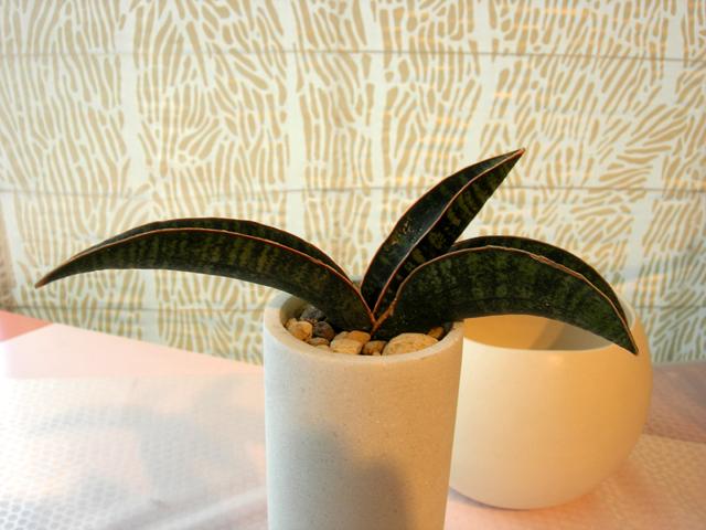 サンスベリア フィッシェリー 観葉植物通販・販売