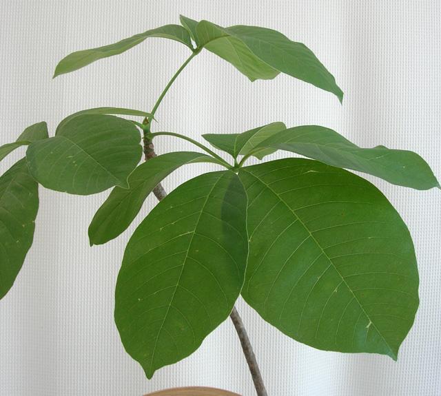シュードボンバックス・エリプチカム観葉植物販売・通販