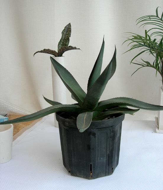 アガベ アリゾニカ観葉植物通販・販売